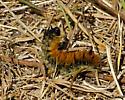 Spokane River Caterpillar - Acronicta dactylina
