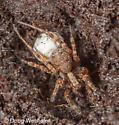 spider in log - Schizocosa - female