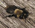 Spring bee - Andrena - female