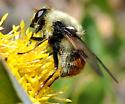 Syrphid fly bumble bee mimic on Senecio - Sericomyia flagrans
