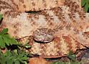 Tiger Rattlesnake, Crotalus tigris
