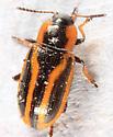 colorful leaf beetle - Prasocuris vittata