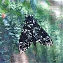 Large Moth - Manduca rustica