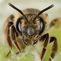Andrena Mining Bee on raspberry - Andrena alleghaniensis - female