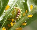Dioprosopa clavata larva on Asclepias curassavica - Dioprosopa clavata