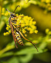 And this big one is ...? - Polistes fuscatus