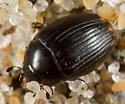Cercyon fimbriatus