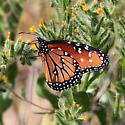Orange Butterfly - Danaus gilippus