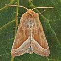 Pallid Rustic - Hydraecia medialis