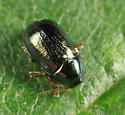 leaf beetle - Diachus