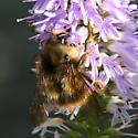 Large robust bumble bee - Bombus sitkensis