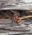 Velvet Ant, Pseudomethocha sp? - Pseudomethoca