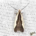 Indented Dichomeris Moth - Hodges #2297 - Dichomeris inserrata