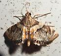 Neargyractis slossonalis – Dimorphic Leafcutter Moth – Hodges #4769 - Neargyractis slossonalis