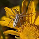 spider - Tibellus