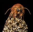 Moth-possibly a Slug Caterpillar Moth, Limacodidae - Schinia arcigera