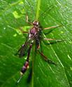 Wasp  - Anomalon - female