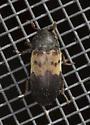 Beetle unidentified - Dermestes lardarius