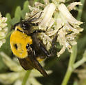 Large Bumblebees on Astragalus at Mono Lake (2) - Bombus nevadensis
