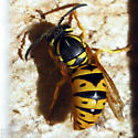Eastern Yellowjacket queen - Vespula maculifrons - female