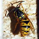 Eastern Yellowjacket queen - Vespula maculifrons - female