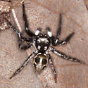 Twinflagged Jumping Spider - Anasaitis canosa - male