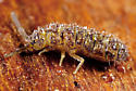 Collembola - Isotoma delta