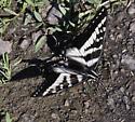Black and white swallowtail - Papilio eurymedon