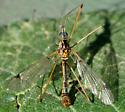 Tipula (Hesperotipula) chlorion - Tipula chlorion - male