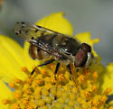 Copestylum satur - male