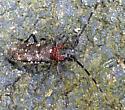 Beetle with small round brown objects around neck - Monochamus scutellatus