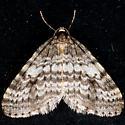 Bruce Spanworm - Operophtera bruceata - male