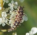Beetle larvae? - Chrysopa