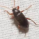 Comb-clawed Beetle - Lobopoda erythrocnemis