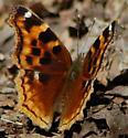 Butterfly - Nymphalis l-album