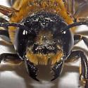 Giant Resin Bee - Megachile sculpturalis