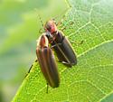 Photuris and Photinus2 - Photuris - male - female