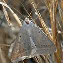 ID for a greyish-tan moth? - Caenurgia togataria