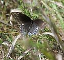 Mystery Butterfly #1 - Papilio polyxenes