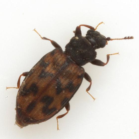Enicmus maculatus (LeConte) - Enicmus maculatus