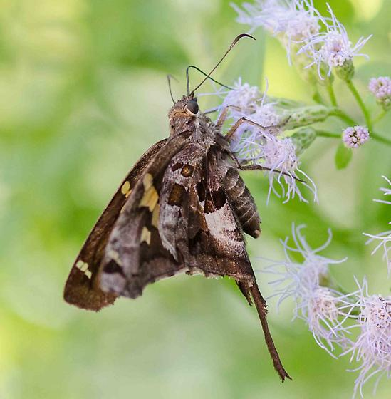 Not a white-striped longtail - Chioides zilpa