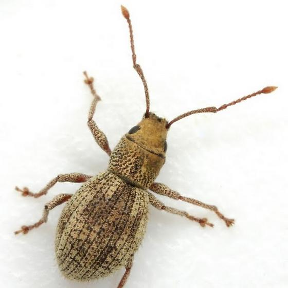 Calomycterus setarius Roelofs - Calomycterus setarius