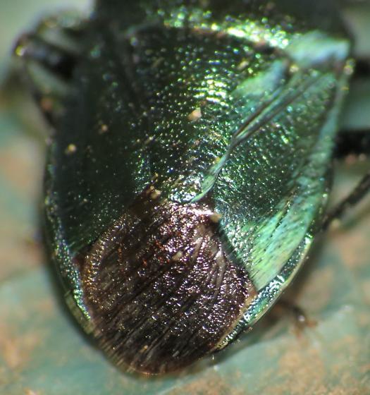 Metalic Green stink bug - Zicrona caerulea
