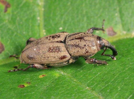 Billbug - Sphenophorus venatus