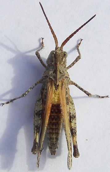 Psinidia amplicornis - female