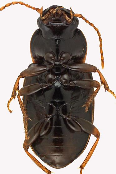 Ground beetle - Pseudamara arenaria