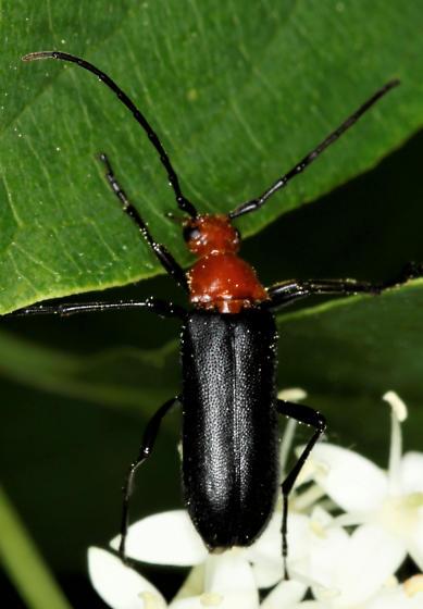 Soldier Beetle? - Charisalia americana