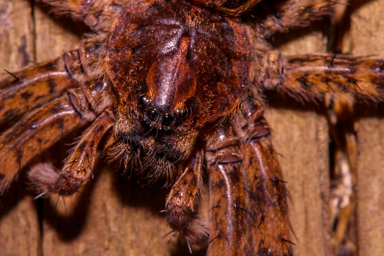 wolf spidery thing - Dolomedes tenebrosus