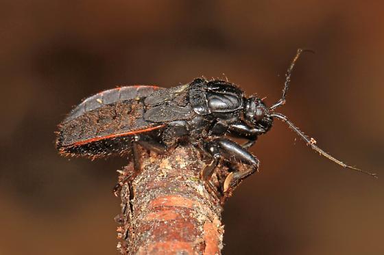 Assassin Bug - Black Corsair? - Melanolestes picipes - female