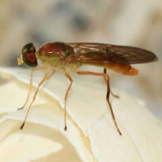 Green Eyed Soldier Fly - Left Lateral - Ptecticus trivittatus
